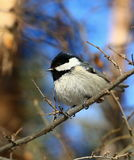 Marsh Tit Photo stock