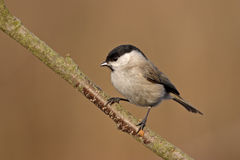 Marsh Tit. The Marsh Tit Poecile palustris is a passerine bird in the tit family Paridae Royalty Free Stock Image