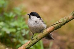 Marsh Tit royalty free stock images