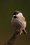 Marsh Tit Stock Photography
