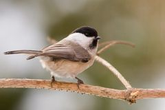 Marsh Tit Royalty Free Stock Photography