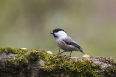 Marsh tit bird standing on a tree covered with moss in Park Stock Photos