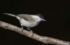 Marsh tit with Black Background. Marsh tit is perching on a tree branch royalty free stock image