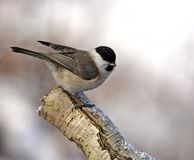 Marsh Tit on branch Royalty Free Stock Photo