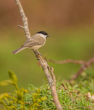 Marsh Tit on a branch with grass Royalty Free Stock Images