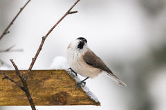 Marsh Tit on a branch. Great tit in winter forest Stock Image