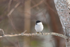 Marsh Tit on a branch Stock Photo