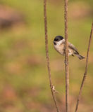Marsh Tit on a Creeping Thistle twig Stock Images