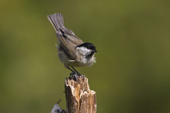 Marsh tit on a dead branch Royalty Free Stock Photography