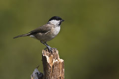 Marsh tit on a dead branch Royalty Free Stock Images