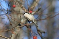 Marsh Tit die wild appelfruit eten Stock Foto's