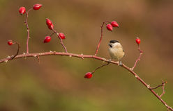 Marsh Tit on dog rose twig Stock Photos