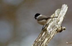 Marsh tit on a branch , Sweden stock photo