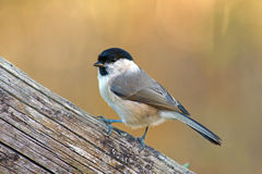 The Marsh Tit Stock Image