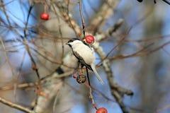Marsh Tit-het hangen op het wilde fruit van de appelboom Royalty-vrije Stock Afbeelding