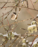 Marsh Tit with Lichen and snow Stock Photography