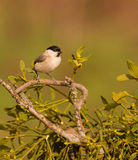 Marsh Tit on Mistletoe. A Marsh Tit (Poecile palustris) perches on a parasitic Mistletoe plant, commonly harvested as a Christmas decoration Royalty Free Stock Image