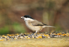 Marsh Tit - Parus palustris Royalty Free Stock Images