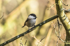 Marsh tit (Parus palustris) Stock Photo