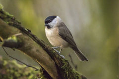 Marsh tit (Parus palustris) Stock Photos