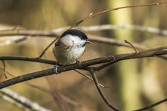 Marsh tit (Parus palustris) Royalty Free Stock Image