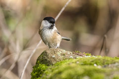 Marsh tit (Parus palustris) Royalty Free Stock Photo
