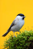 Marsh Tit, Parus palustris, songbird sitting on the nice lichen tree branch with, little bird in nature forest habitat, clear ora. Nge background, Germany Stock Photos