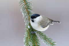 Marsh Tit, Parus palustris, songbird sitting on the nice spruce tree branch with, little bird in nature forest habitat, clear grey. Marsh Tit, Parus palustris Stock Image