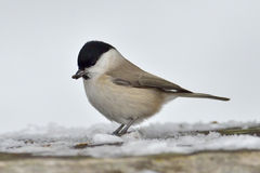 Marsh Tit  ( parus palustris ) Stock Photography