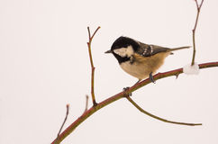 Marsh Tit on a twig in winter Royalty Free Stock Photography