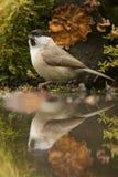 Marsh tit (Poecile palustris) Stock Photos