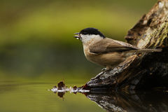 Marsh tit (Poecile palustris) Royalty Free Stock Photo