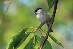 Marsh Tit (Poecile palustris). Marsh Tit on a cherry tree branch with light green blured background Stock Photos