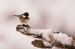 Marsh Tit on snow-covered branch Royalty Free Stock Image