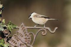 Marsh tit, Poecile palustris Royalty Free Stock Photo
