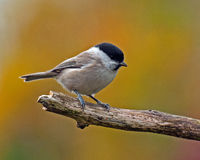 The marsh tit. Poecile palustris sits on a branch laying around autumn colors stock image