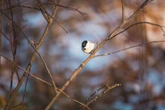 Marsh Tit or Poecile palustris sitting on the branch in the winter forest on bright sunny day royalty free stock photos