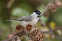 Marsh Tit, Poecile palustris on a thistle Royalty Free Stock Images