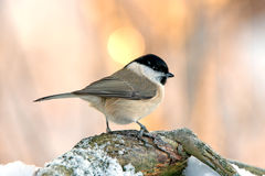 Marsh Tit Royalty Free Stock Photos