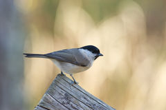 Marsh Tit (Poecile/Parus palustris) Royalty Free Stock Image