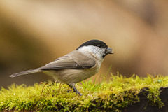 Marsh Tit Royalty Free Stock Image