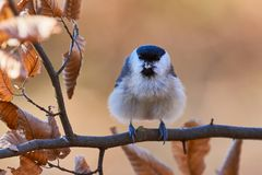 Marsh Tit resting on a branch Stock Photos