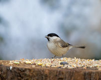 Marsh Tit with seed Stock Images