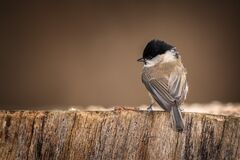 Marsh tit waiting at the table