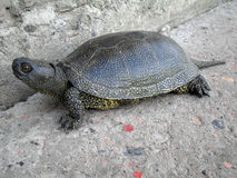 Marsh turtle closeup Royalty Free Stock Photos
