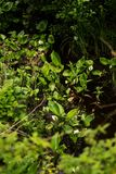 Marsh vegetation with calla and other aquatic plants Stock Images