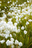 Marsh vegetation - cotton grass Stock Photo