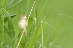 Marsh Warbler royalty free stock photography