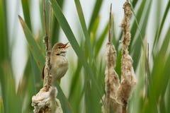 Marsh Warbler Royalty Free Stock Image