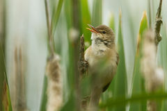 Marsh Warbler Stock Images